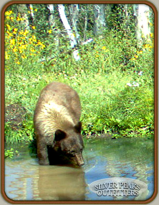 This trail camera picture shows Cathy's Black Bear coming into a pond, 2 weeks prior to seeing him again