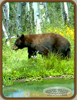 One of many trail camera photos showing Rhonda's trophy Colorado Black Bear.