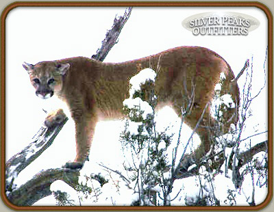 Hunting the elusive mountain lion with Silver Peaks Outfitters is a thrilling Colorado hunting adventure